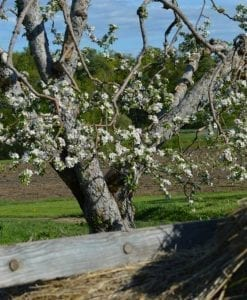 Apple tree in Bloom at Rogers Orchard