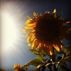 sunflower in the sun